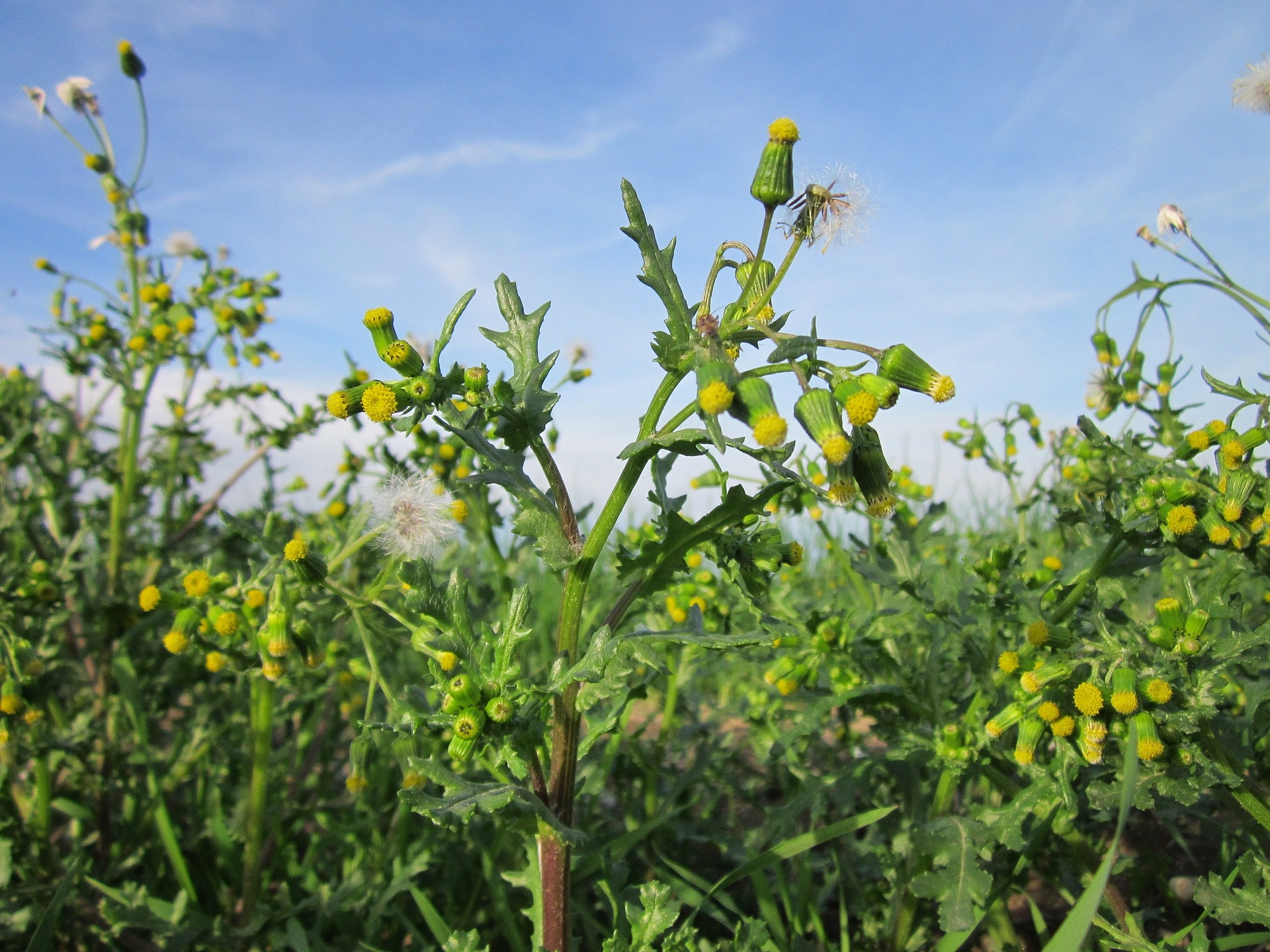 senecio-vulgaris-844623_1920
