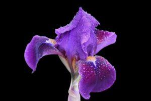 Iris botanique genetique