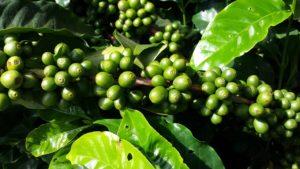 Fraudes et adultérations, le cas du café!